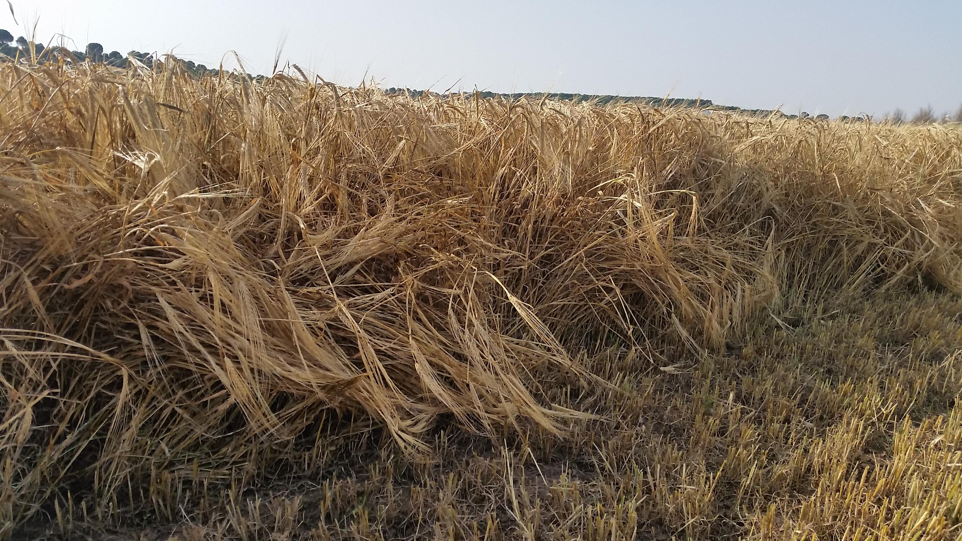 cosecha_cereales-06