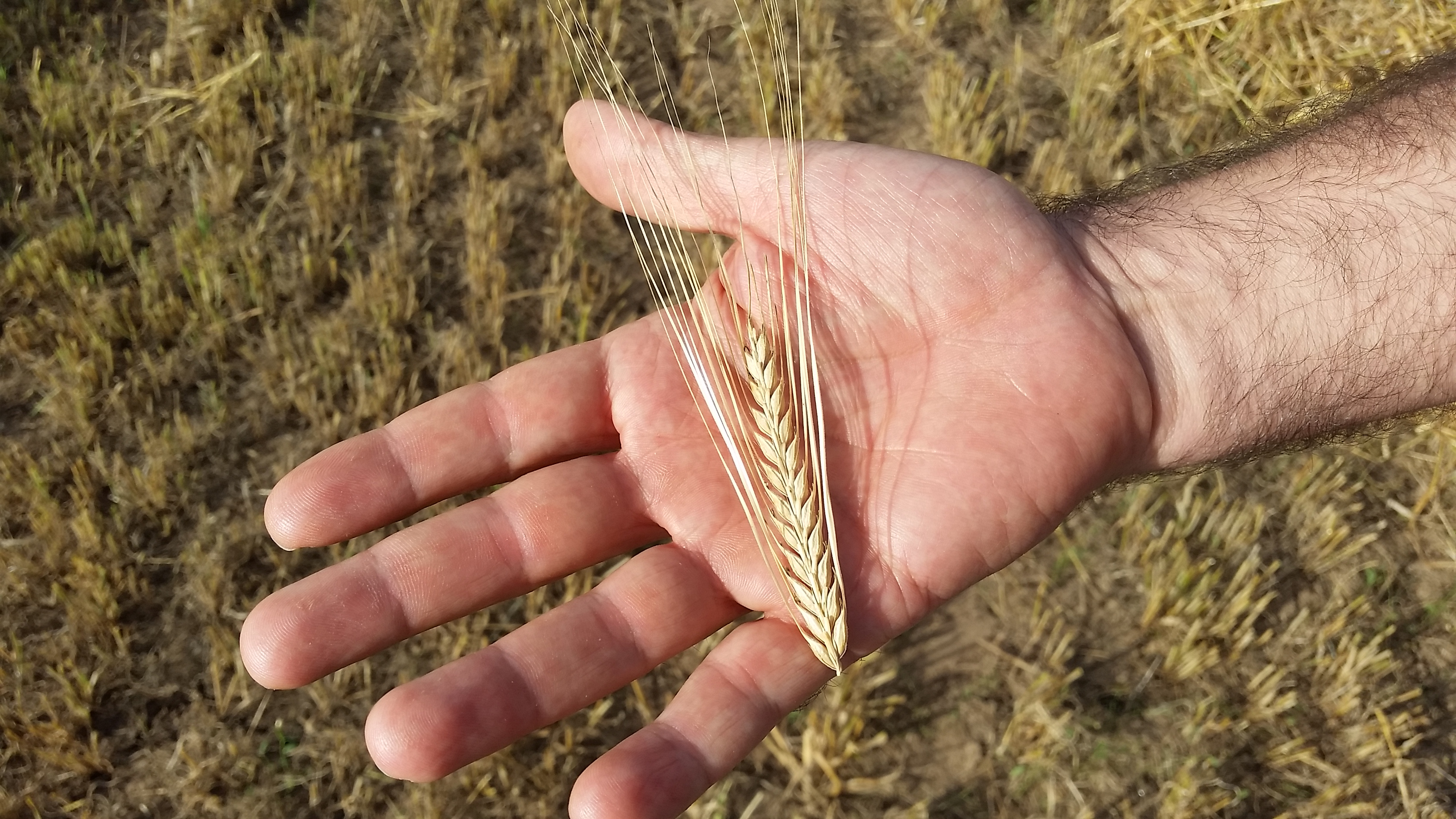 cosecha_cereales-09