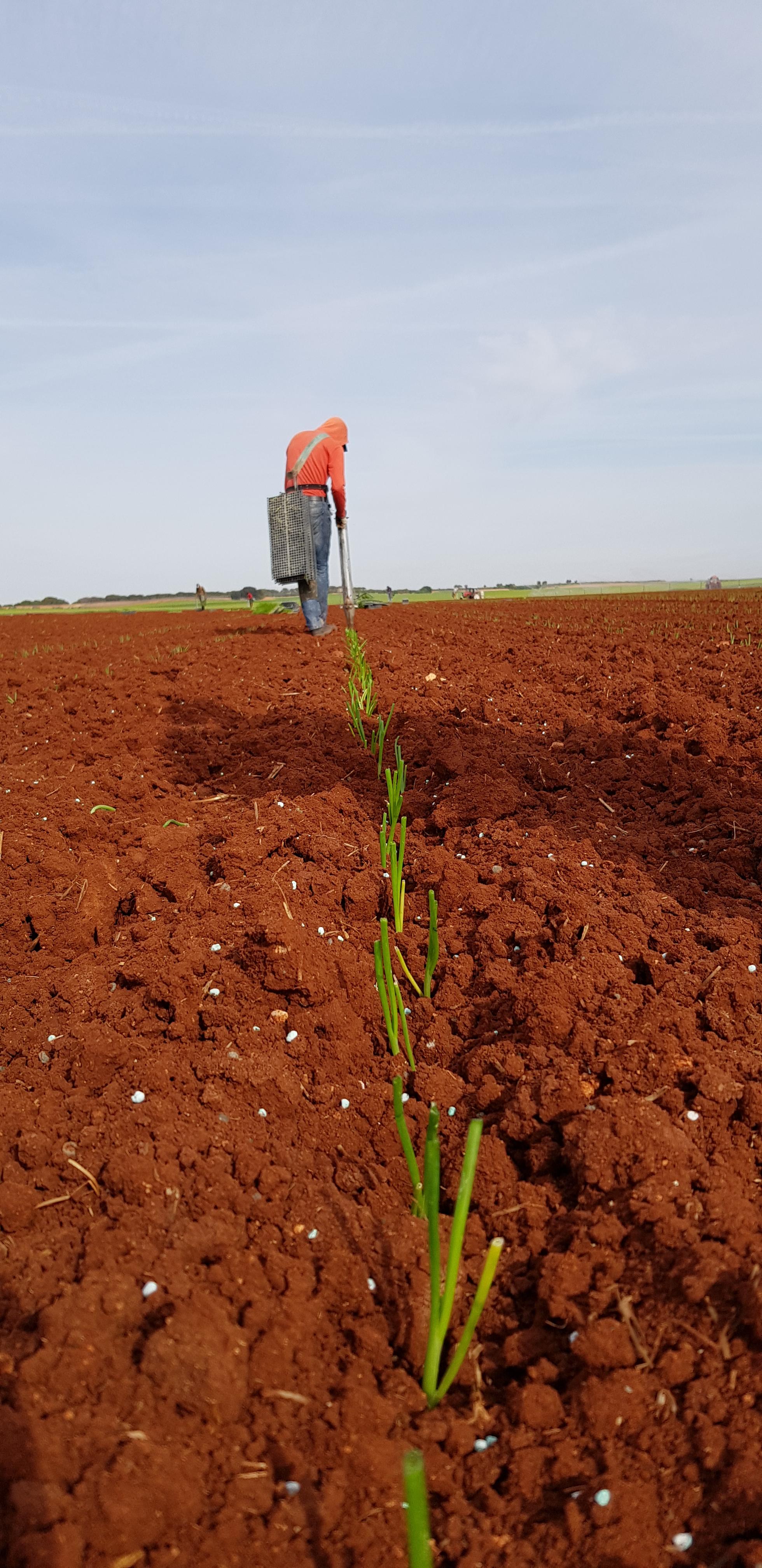 plantandoCebollas-14
