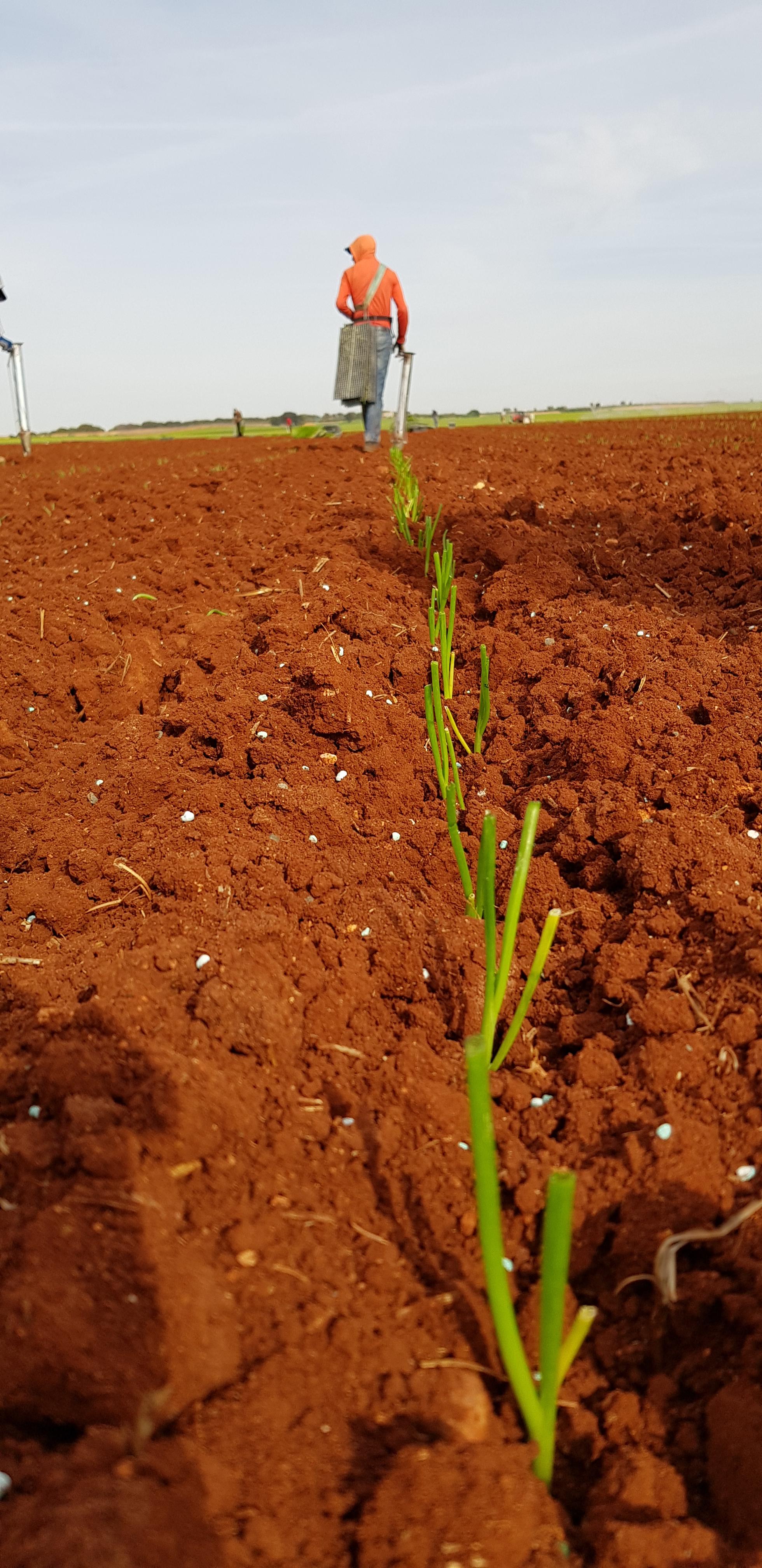 plantandoCebollas-15