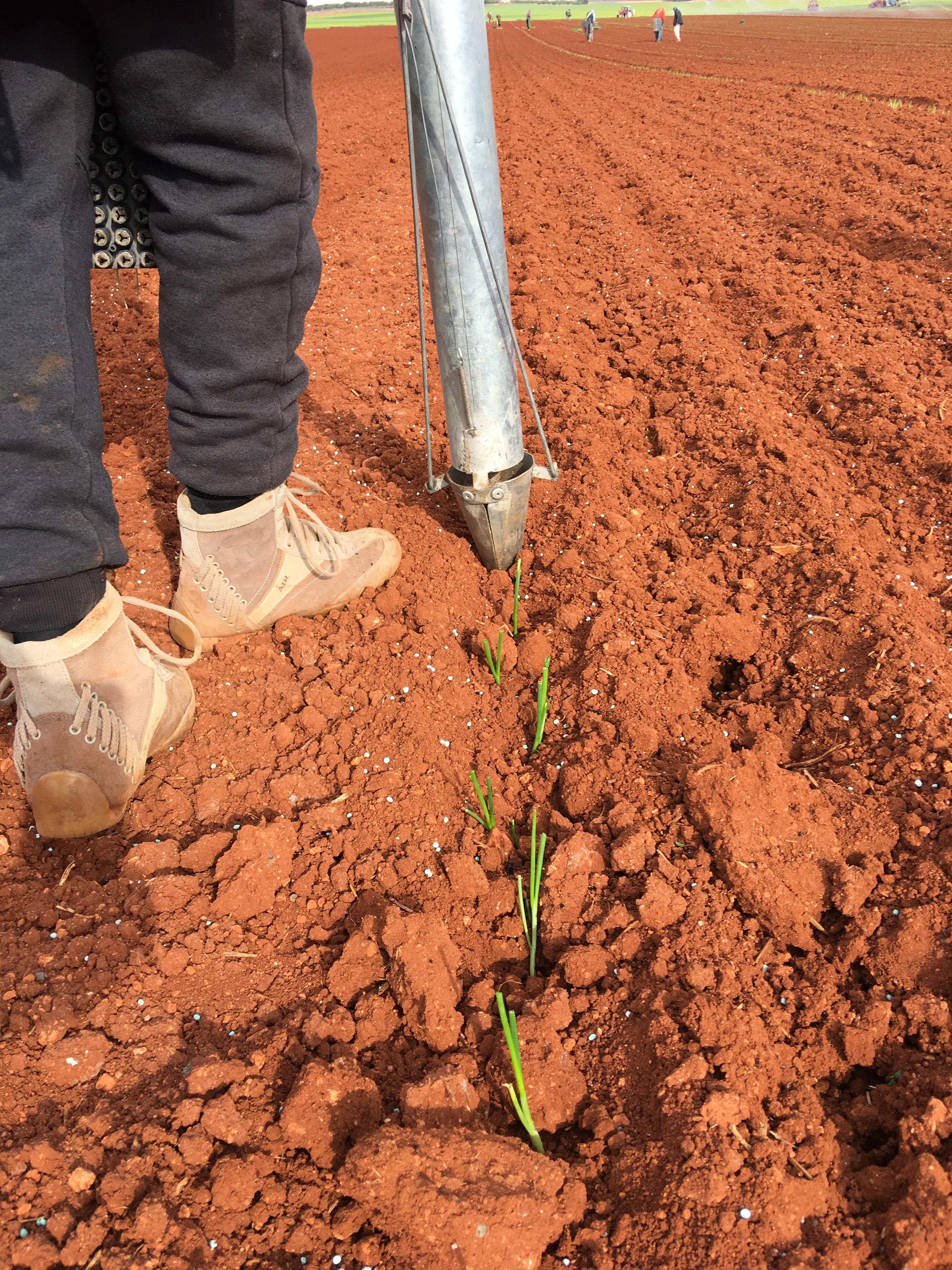 plantandoCebollas-22