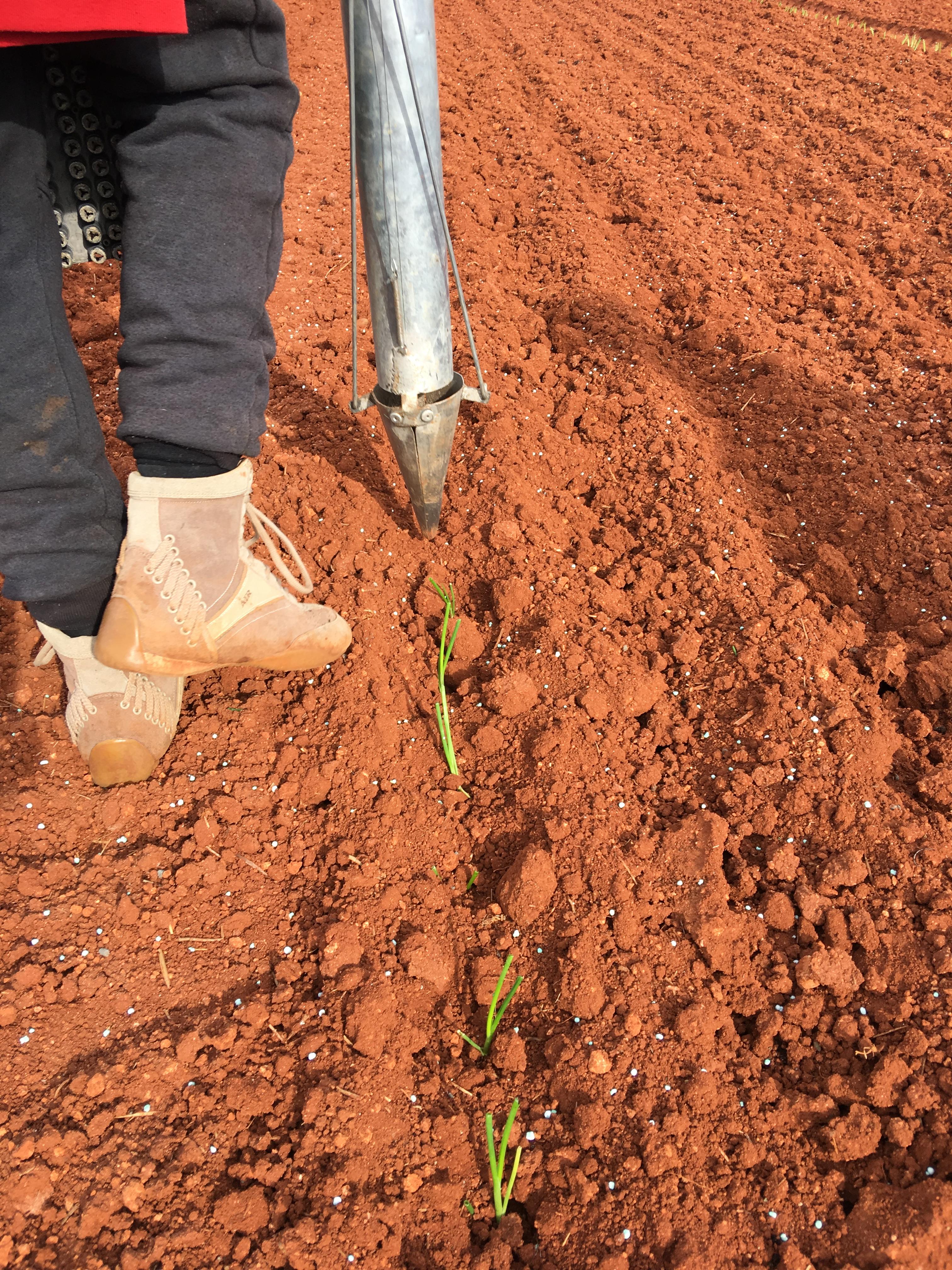 plantandoCebollas-23