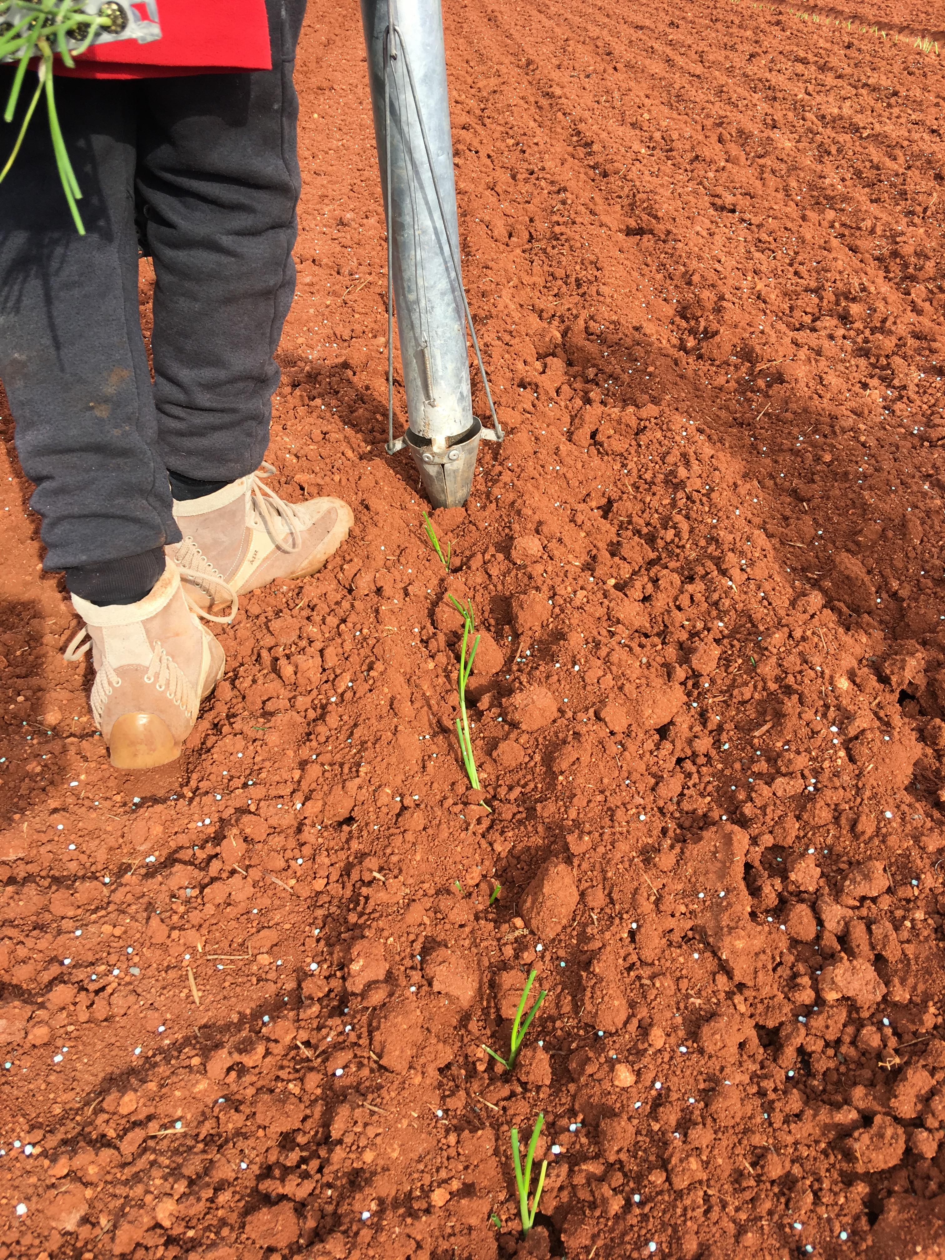 plantandoCebollas-24