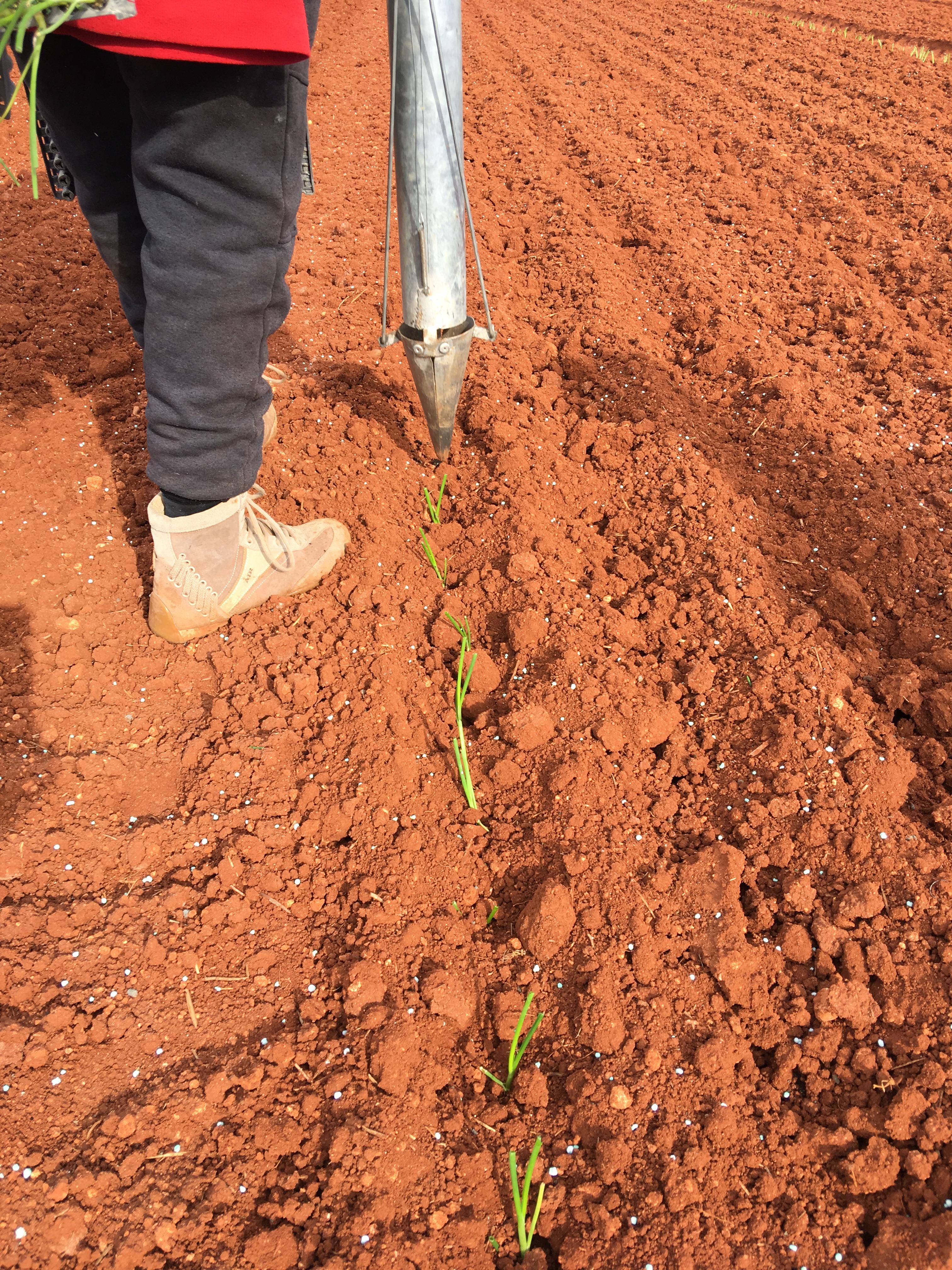 plantandoCebollas-25