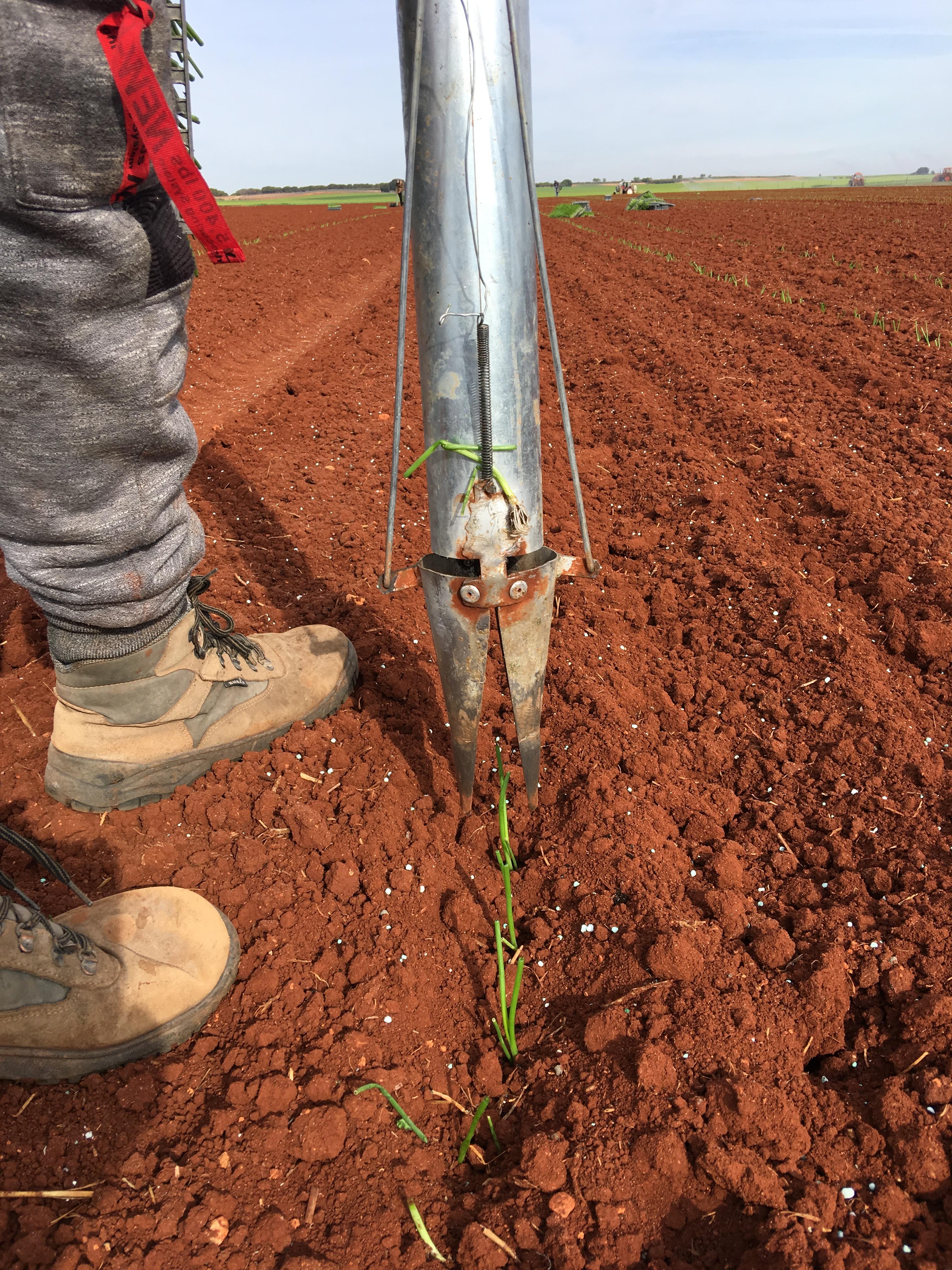 plantandoCebollas-27