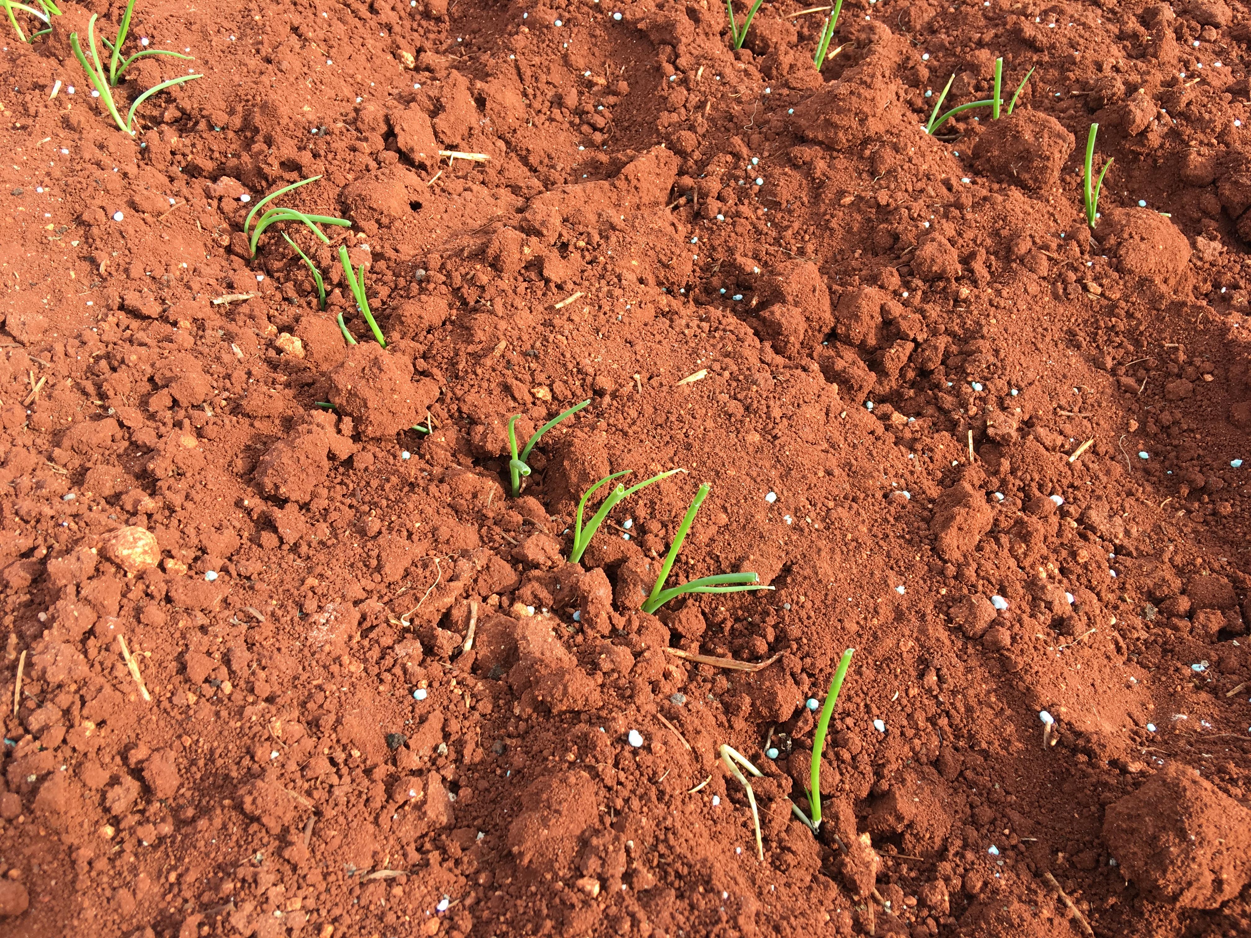 plantandoCebollas-29