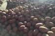 Plantando_patatas_salamanca-06